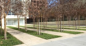A grove of young Crape Myrtle trees (Photo by Delle Willett)