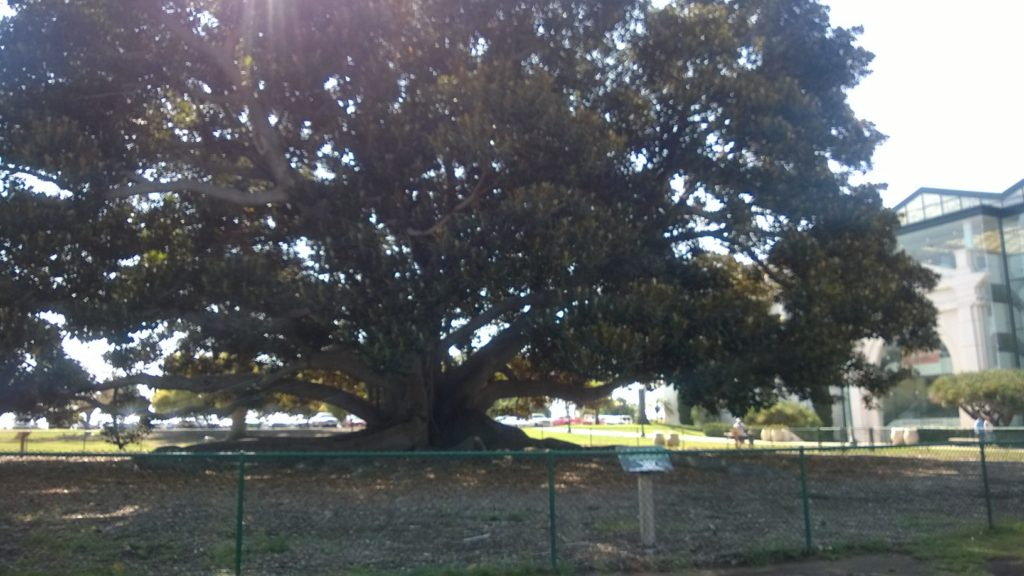 The author remembers climbing this Moreton Bay fig tree, located behind the Natural History Museum, as a child. Today access to the epic tree is restricted. (Photo by Ann Wilson)